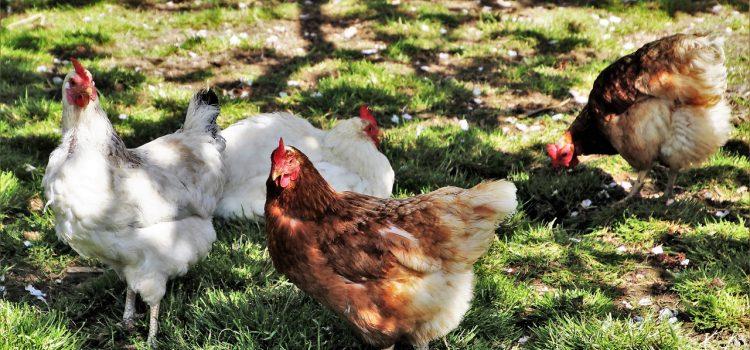 Élever des poules, une idée qui va vous séduire très rapidement